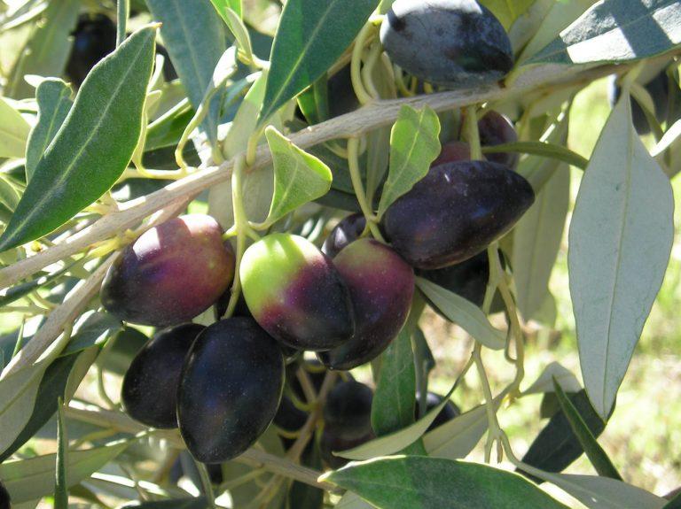 Greek Olives on Tree